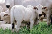 konsunkritisch-Rinder